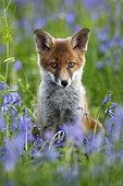 Renard roux (Vulpes vulpes) reanrdeau dans les Jacinthes des bois (Hyacinthoides non scripta) en fleurs, Angleterre