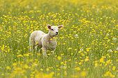 Sheep ( Ovis aries) lamb standing amongst buttercup, England