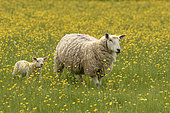 Sheep ( Ovis aries) lMother and young standing amongst buttercup