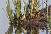 Little Crake (Porzana parva), female looking for food in spring in migratory stop in a coastal pond, Plan La Garde pond area, Var, France