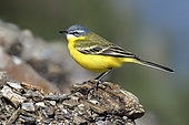 Ashy-headed Wagtail (Motacilla flava) on a stony embankment at the edge of a pond, In a migratory stopover in the spring, Old saline area of Pesquiers, Hyères, Var, France