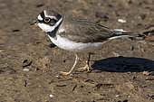 Little ringed plover (Charadrius dubius), Looking for food on a mudflat along a basin in the spring, area of the old saline Pesquiers, Hyères, Var, France