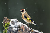 Goldfinch (Carduelis carduelis) on a snowy tree stump in a garden in winter, Country Garden, Lorraine, France