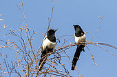 Eurasian Magpie (Pica pica) on a birch tree in winter against blue sky background, Country Garden, Lorraine, France