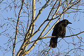 Black Crow (Corvus corone) on a birch on a background of blue sky in early spring, Country Garden, Lorraine, France
