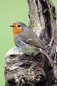 European robin (Erithacus rubecula) on a stump in winter, Country Garden, Lorraine, France