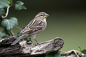 Domestic sparrow (Passer domesticus) Female on a stump in winter, Country garden, Lorraine, France