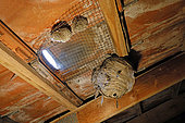 German Yellowjacket (right) and Paper Wasp (left) nests under the roof tiles of a pavilion in winter, Campagne, Lorraine, France