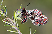 Southern Festoon (Zerynthia polyxena) on a shrub in the spring, Massif des Maures, around Hyères, Var, France