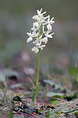 Provence orchid (Orchis provincialis) Foot in bloom in the spring, Underwood surroundings of Pierrefeu, Var, France