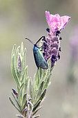 Scarce forester (Jordanita globulariae) Male foraging a french lavender flower (Lavandula stoechas) in spring, Massif des Maures, near Hyères, Var, France