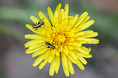 Bush Cricket (Pholidoptera griseoaptera) juveniles on a dandelion flower in the spring, Forest path in the woods of Liverdun, Lorraine, France