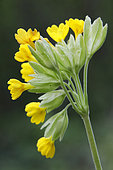 Cowslip primrose (Primula veris), Detail of flowers in the spring, Meadow near Toul, Lorraine, France