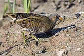 Spotted Crake (Porzana porzana), On a mudflat looking for food in the early spring, Plan La Garde pond area, Var, France