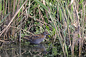 Baillon's Crake (Porzana pusilla), Female on a mudflat looking for food in early spring, Edge of Roubeau in Hyères, Var, France