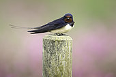 Swallow (Hirundo rustica) perches on a fence post in the Peak District National Park, UK.