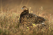 Red Grouse (Lagopus lagopus scotica) after preening in the Peak District National Park, UK.