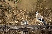 Eurasian Jay (Garrulus glandarius) perches on a fencepost in the Peak District National Park, UK.