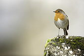 European Robin (Erithacus rubecula) perches in the Peak District National Park, UK.