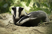 Eurasian Badger (Meles meles) sow and her cub interacts as they emerge from the sett in the Peak District National Park, UK.