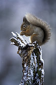 Red Squirrel (Sciurus vulgaris) perches on a log in the Cairngorms National Park, UK.