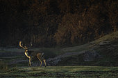 Daims (Dama dama) mâle bramant tôt le matin dans le parc national du Peak District, au Royaume-Uni.
