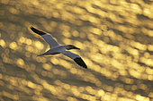 A Gannet soars over the sea in the early morning light off the coast of Flamborough, UK.