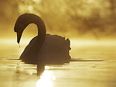 Mute Swan (Cygnus olor) on the water during sunrise in the Peak District National Park, UK.