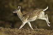 Daim (Dama dama) courant dans le parc national de Peak District, au Royaume-Uni.
