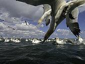 Fous de Bassan (Morus bassanus) plongeant en quête de nourriture au large de la côte de Flamborough, au Royaume-Uni.
