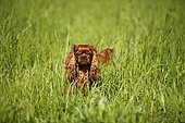 Cavalier King Charles Spaniel, male, ruby, in tall grass
