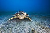 Green turtle (Chelonia mydas) on the flat near the beach of N'gouja, Mayotte