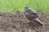 Montagu's Harrier(Circus pygargus), male, immature, Italy