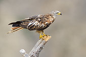 Red Kite (Milvus milvus), side view of an immature perched on a dead tree in Basilicata, Italy