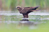 Marsh Harrier (Circus aerurignosus), side view of an adult female stading in a marsh, Campania, Italy