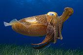 Cuttlefish (Sepia officinalis). Marine invertebrates of the Canary Islands, Tenerife.