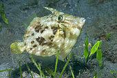 Planehead filfish (Stephanolepis hispidus). Fish of the Canary Islands, Tenerife.