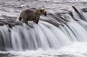 Grizzly bear (Ursus arctos horribilis), Brooks Falls, Katmai National Park, Alaska, USA
