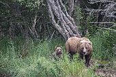 Grizzly bear (Ursus arctos horribilis) mother with cub, Brooks Falls, Katmai National Park, Alaska, USA
