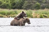 Grizzly bear (Ursus arctos horribilis) two subadults standing in river, Brooks River, Katmai National Park, Alaska, USA