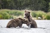 Grizzly bear (Ursus arctos horribilis) two subadults play-fighting in river, Brooks River, Katmai National Park, Alaska, USA