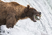 Grizzly bear (Ursus arctos horribilis) catching Salmon, Brooks Falls, Katmai National Park, Alaska, USA