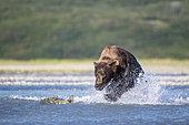Grizzly bear (Ursus arctos horribilis) chasing Salmon, Katmai National Park, Alaska, USA