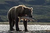 Grizzly bear (Ursus arctos horribilis) catching Salmon, Katmai National Park, Alaska, USA