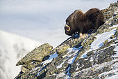 Musk Ox (Ovibos moschatus), bull in mountains, winter, Dovrefjell-Sunndalsfjella-Nationalpark, Norway