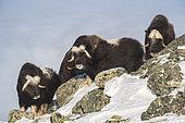 Musk Ox (Ovibos moschatus), group on mountain ridge, winter, Dovrefjell-Sunndalsfjella-Nationalpark, Norway