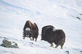 Musk Ox (Ovibos moschatus), two bulls, winter, Dovrefjell-Sunndalsfjella-Nationalpark, Norway