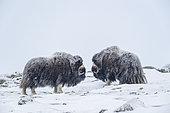 Musk Ox (Ovibos moschatus), two bulls in winter, Dovrefjell-Sunndalsfjella-Nationalpark, Norway