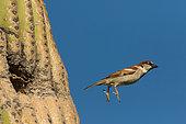 Moineau domestique (Passer domesticus), mâle s'envolant de son nid dans un à Saguaro (Carnegiea gigantea), désert de Sonora, Arizona. Espèce introduite en Amérique du Nord depuis l'Eurasie, devenue un ravageur dans de nombreuses régions, notamment en Arizona où il rivalise avec les oiseaux indigènes pour les cavités de nidification dans les saguaros