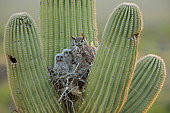 Great horned owls, (Bubo virginianus), in nest in saguaro cactus, (Carnegiea gigantea), Sonoran desert , Arizona